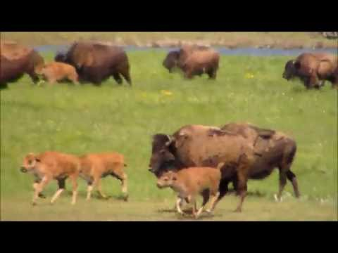 American Bison/Buffalo stampede in Yellowstone National Park