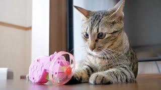 猫に空飛ぶおもちゃをプレゼントしたら遊び疲れて睨んでましたw