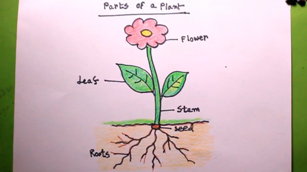 How TO Draw a plant/let's draw the parts of plant/draw ...