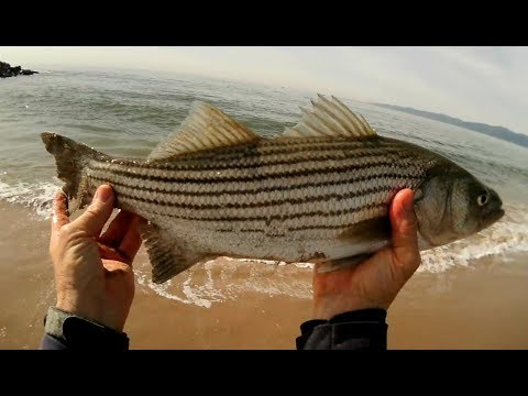 Surf Fishing For Striped Bass In SoCal