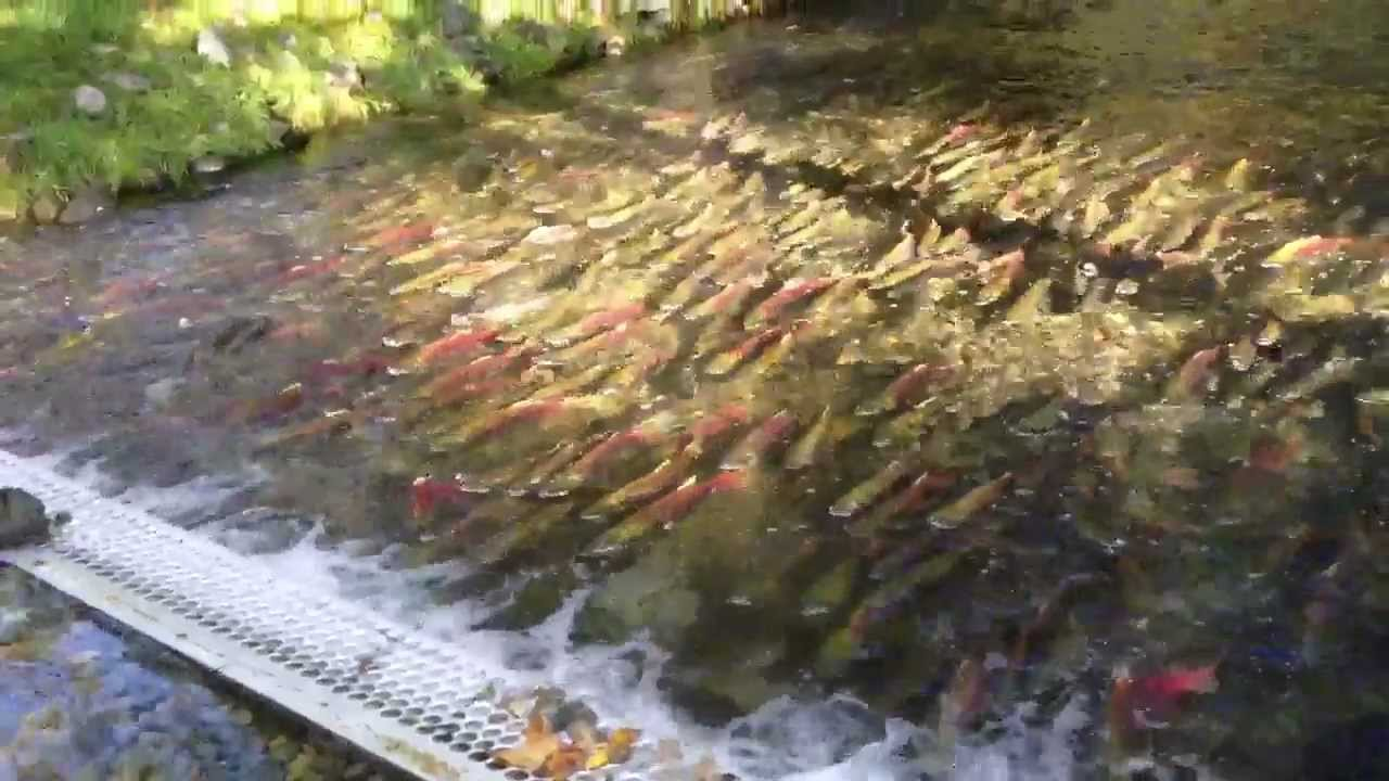 Weaver Creek Spawning Channel Bc Canada Youtube