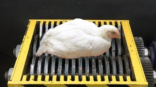 FAST SHREDDER VS CHICKEN! AMAZING EXPERIMENT!