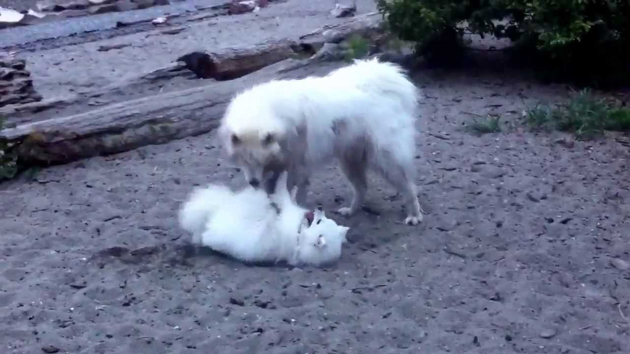 samoyed vs  american eskimo-puppy battle