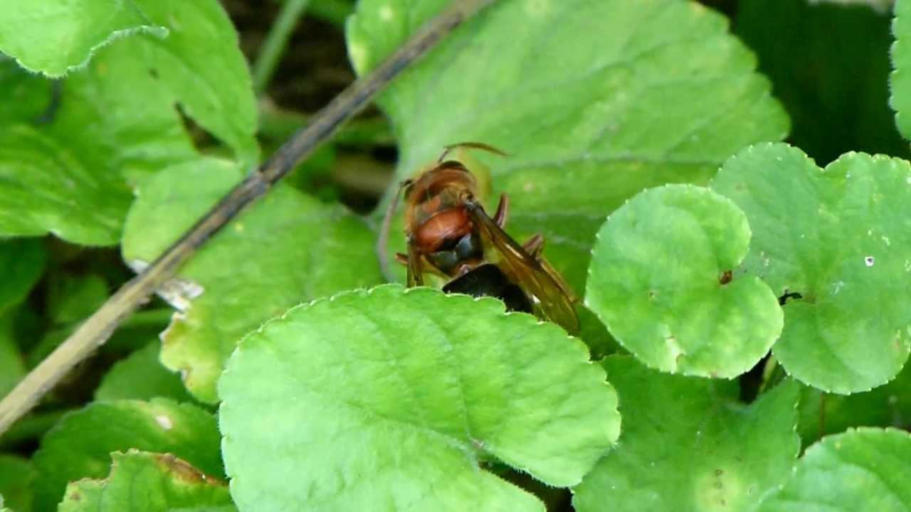 Hornet Vs Praying Mantis Brown Hornet Bu...