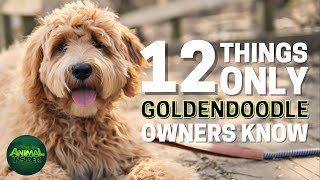 12 Things Only Goldendoodle Dog Owners Understand
