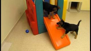 German Shepherd Puppies In The Seeing Eye Experience Room