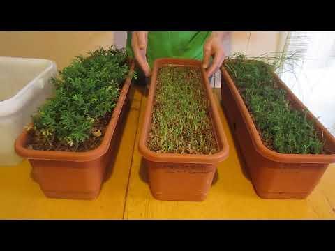 Как выращивать тую из семян