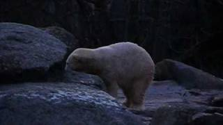 Knut - ice breaking and relaxing