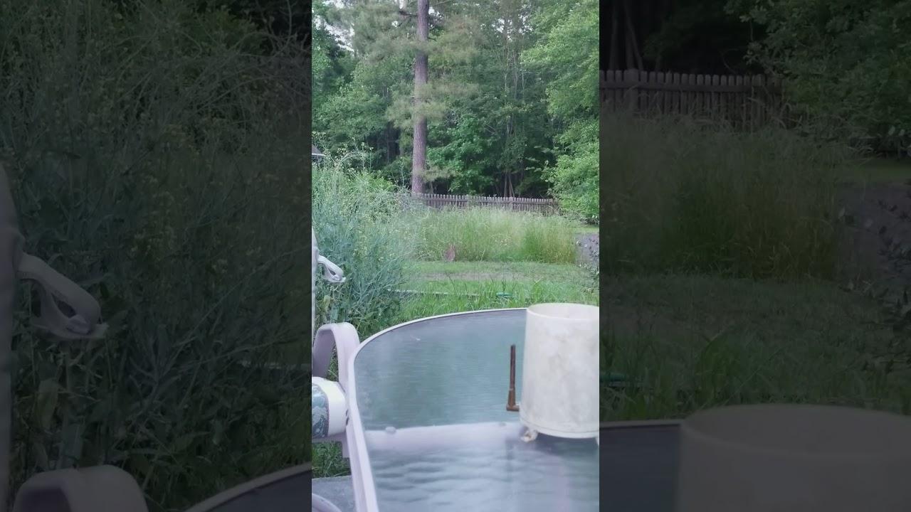 cottontail rabbit enjoying rye grass youtube