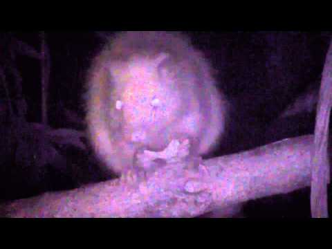 Singapore Night Safari - Northern Luzon Giant Cloud Rat
