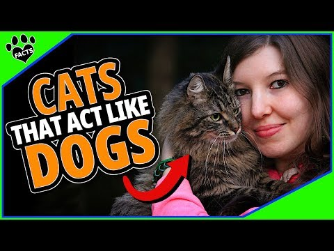 10 Surprising Cats That Act Like Dogs