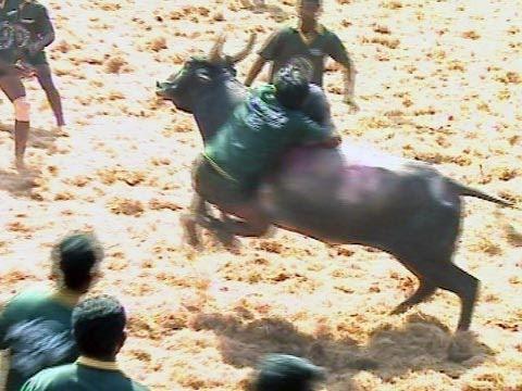 Jallikkattu Bull Race near Madurai