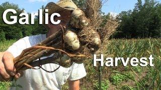 Harvest Garlic - How To Grow Garlic Videos - Gardenfork.tv