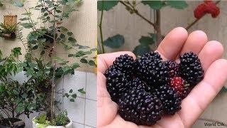 Veja Como Plantar Amora em Vaso – Técnica de Estaquia 2