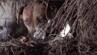 Cô chó vô gia cư lang thang 3 tháng trên đường phố, sau đó nó nấp vào bụi cây chịu đau đớn vì lý do