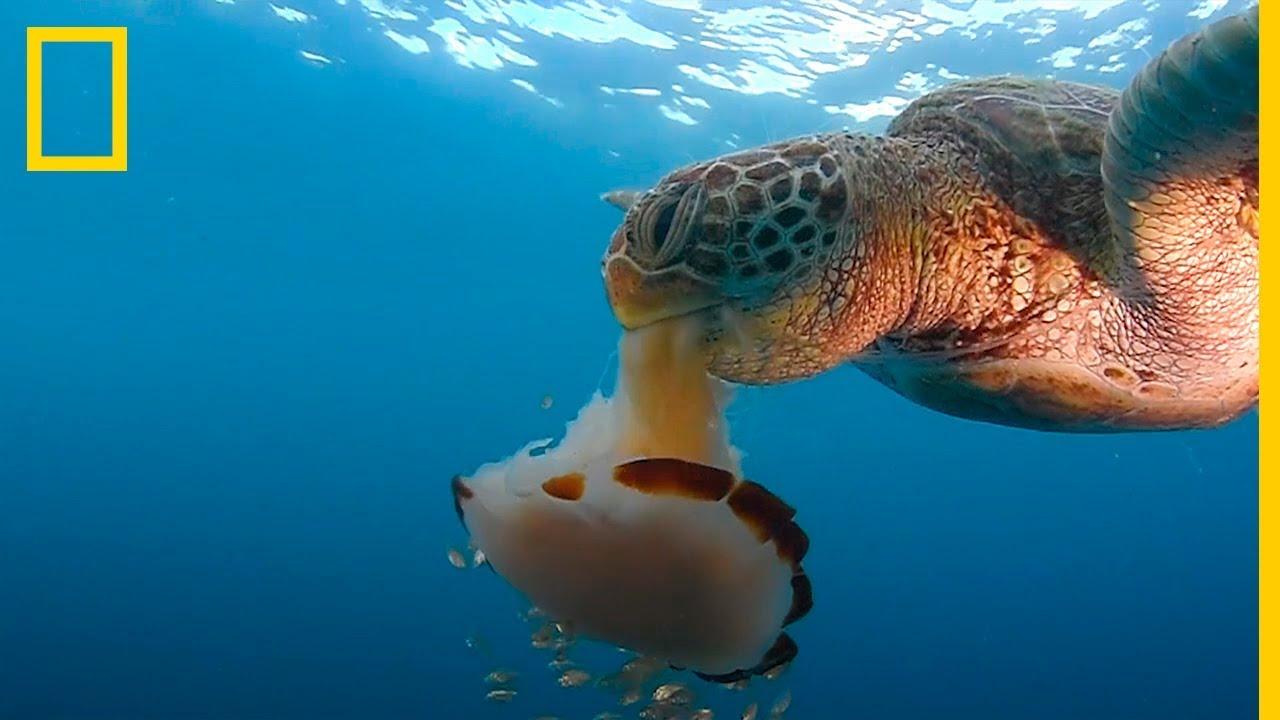 Mira esta TORTUGA marina DEVORAR una MEDUSA como si fuera un ...