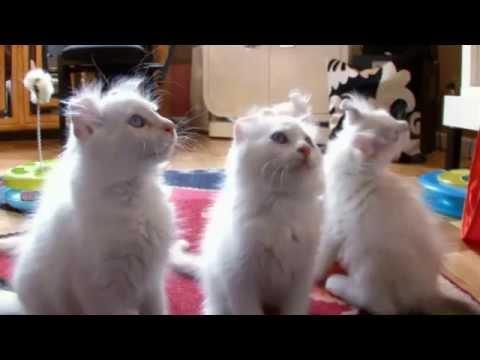 Cats - American Curl - Cat Breeds