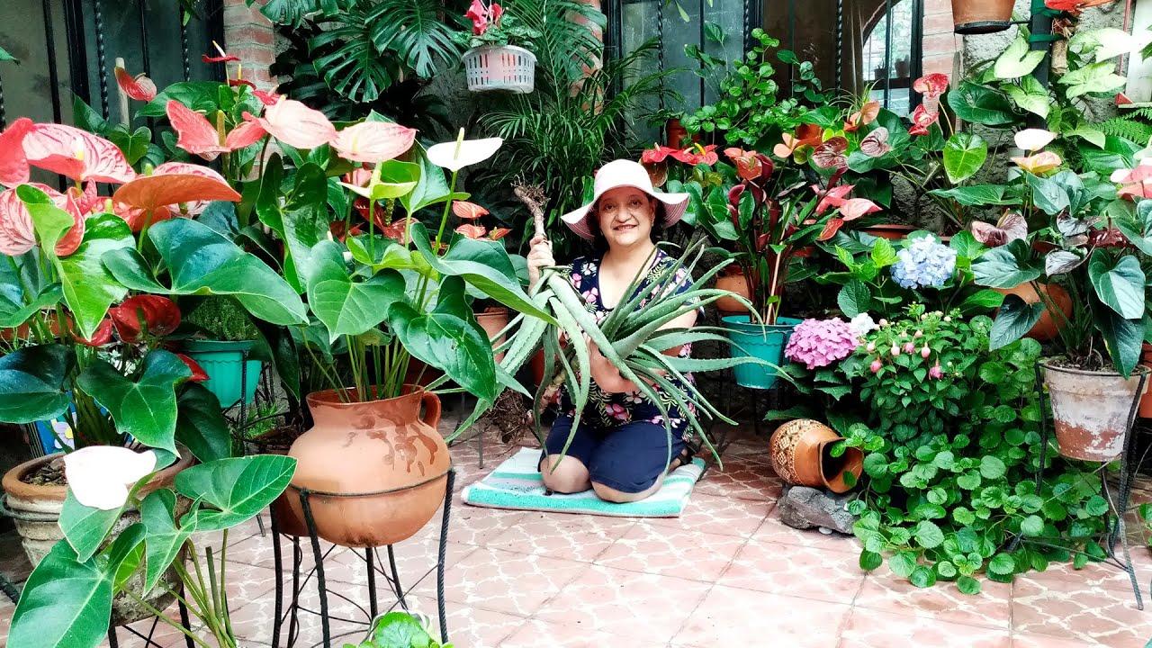 Cultivo de Sábila o Aloe vera