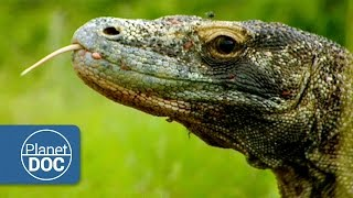 Komodo Dragon | Wild Animals - Planet Doc Full Documentaries