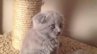Питомник Шотландских кошек Магукэт - голубые, л