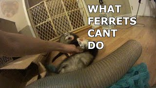 what ferrets CAN'T do (That polecats can)