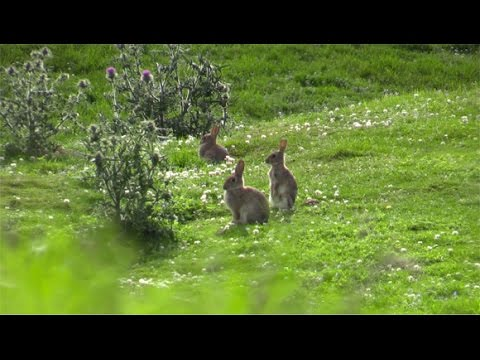 The Shooting Show – Pace v Pace rabbit shooting PLUS a look forward to the CLA Game Fair