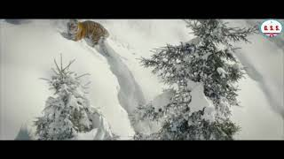 Tiger : Siberian Tiger's roaring & face expression to drone camera