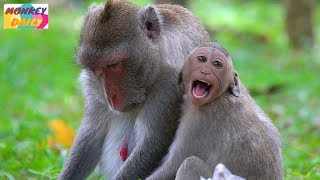 Janet tiny so spoiled to mom with milk   Jane mom deny with stop her milk   Monkey Daily 4632
