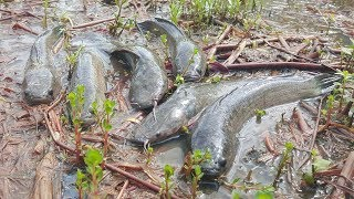Wow! Awesome Fishing Videos Catch A lot Of Fish By Hand - Traditional Hand Fishing