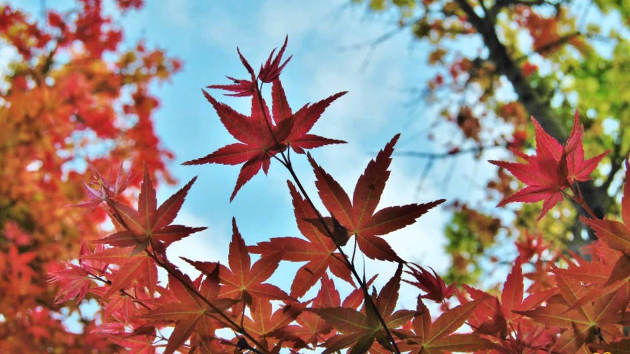 「關子嶺 楓葉」的圖片搜尋結果