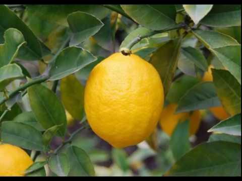 Почему у лимона опадают листья?