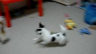 エキサイトしすぎてソファーにぶつかってしまいます。Crazy puppy 4 mou...