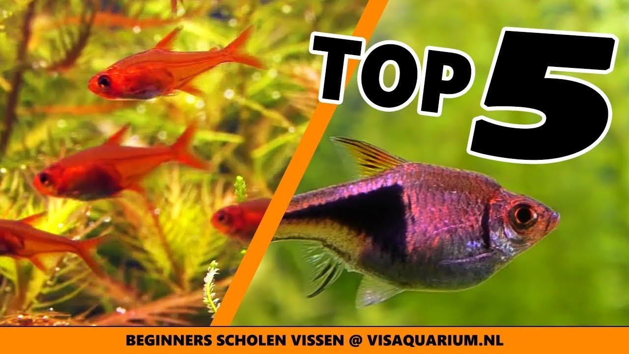 Top 5 Aquarium School Vissen Beste Beginners
