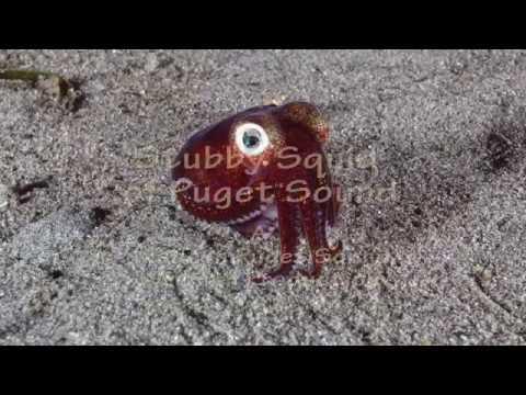 Stubby Squid of Puget Sound