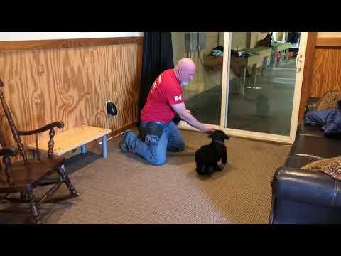 "Q Litter Giant Schnauzer Puppy ""Quigley"" 7 Wks BAB Participant"