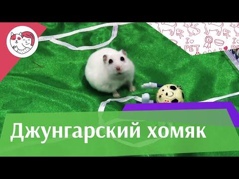 Джунгарский хомяк видео #10