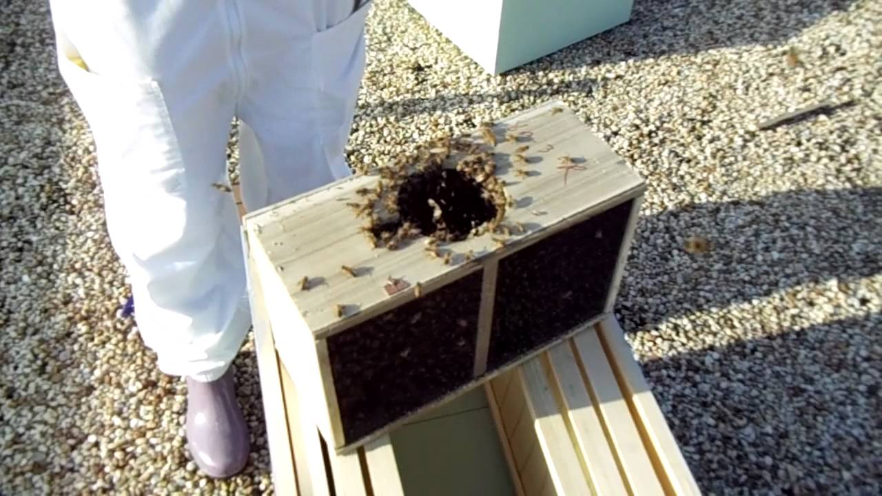 Urban Beekeeping: # 24 Putting a package of Russian Honey ... - photo#1