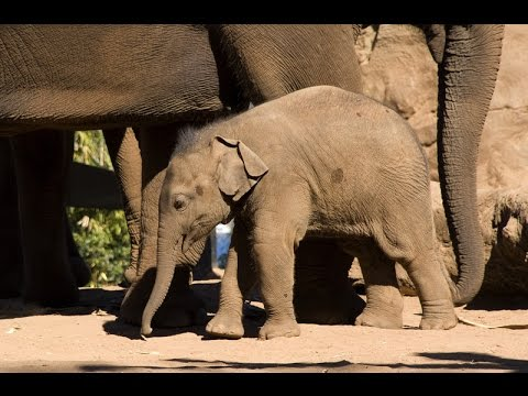 Thumbnail: Getting ready for a baby Elephant at Taronga Zoo Sydney