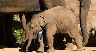 Getting ready for a baby Elephant at Taronga Zoo Sydney