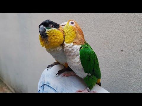 MARIANINHAS   PACO E NINA   Caique Parrot - UDP