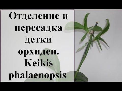 Моя орхидея: Отделение и пересадка детки орхидеи