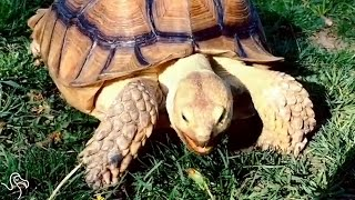 Tortoise Strolls Around New York City Like He Owns The Place