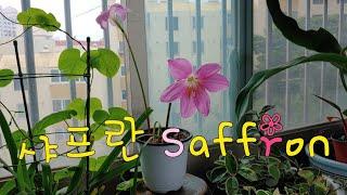 #샤프란 관리방법 #Saffron #사프란 #사프란 꽃…
