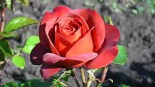 видео Роза Hot Cocoa