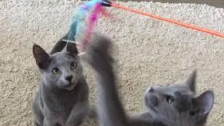 Русские голубые котята! Русская голубая! Питомник Русских Голубых кошек Ruzara!