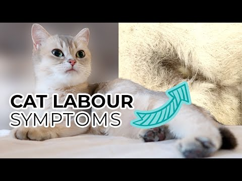 TOP 10 SIGNS YOUR CAT IS IN LABOR (including prelabor symptoms) + Sneak Peak of Nala's Kittens