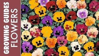 Growing Pansies - How to sow