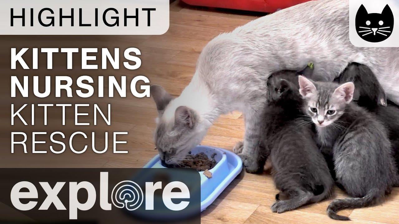 Kittens Nursing Kitten Rescue Live Cam Highlight 11 01 17