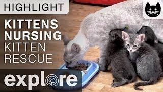 Kittens Nursing - Kitten Rescue Live Cam Highlight 11/01/17