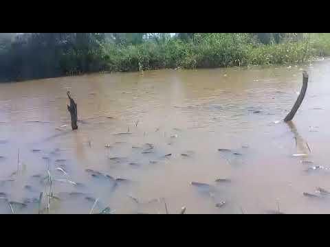 Milhares de curimatãs agonizam nas águas novas da barragem da Farinha em Patos. Veja o vídeo